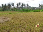 Foto Land for sale in Ubud Gianyar IDR 8100000-. 000
