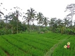 Foto Land for sale in Payangan Gianyar IDR 850000-. 000