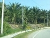 Picture Oil palm in Sg Siput for sale