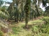 Picture Palm Oil Land