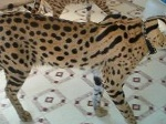Picture White lion cubs, serval, caracal, savannah and...